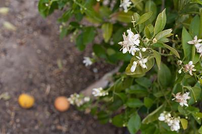 橙子,花朵,特写,香橙花,自动喷水机,河滨县,桔树,褐色,水平画幅,软管