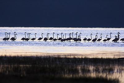 黎明,火烈鸟,小火烈鸟,里夫特谷,纳库鲁湖,纳库鲁,大火烈鸟,中长距离,水,野外动物