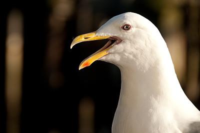 海鸥,依利雅特湾,舌头,西雅图,动物喊叫,留白,动物嘴,水平画幅,人的嘴,鸟类