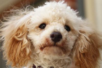 玩具贵宾犬,贵宾犬,野生动物,水平画幅,小的,无人,户外,特写,一只动物,白色