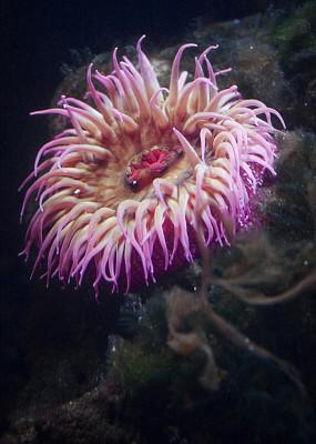 草莓色海葵,海葵,垂直画幅,选择对焦,水,美,无人,水下,野外动物,户外