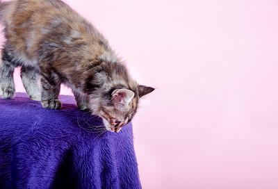 小猫,往下看,椅子,玳瑁猫,2到5个月,粉色背景,骄纵宠物,美,留白,水平画幅