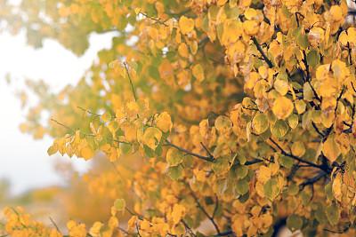 叶子,秋天,杏树,天空,留白,水平画幅,无人,早晨,户外,特写
