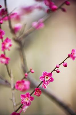 梅花,李树,垂直画幅,选择对焦,无人,户外,花蕾,植物,彩色图片,新生活