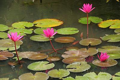 锡吉里耶,斯里兰卡,长焦镜头,自然,水,拍摄场景,荷花,水平画幅,绿色,睡莲