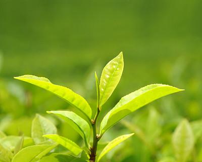 茶叶,茶树油,叶绿素,留白,枝繁叶茂,饮料,明亮,农作物,彩色图片,光