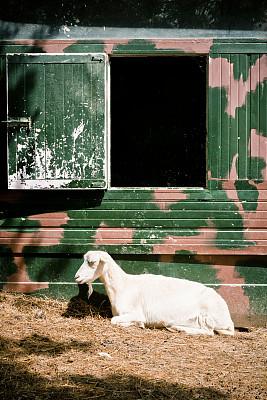 山羊,白色,自然,垂直画幅,图像聚焦技术,选择对焦,窗户,宁静,橙色,肖像