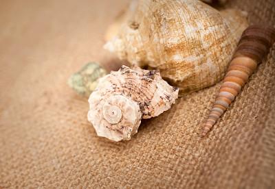 贝壳,海扇壳,扇贝,海螺,自然,图像聚焦技术,选择对焦,留白,紫贝,水平画幅