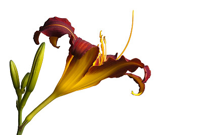 卷丹,侧面像,萱草,留白,水平画幅,无人,夏天,特写,仅一朵花,百合花