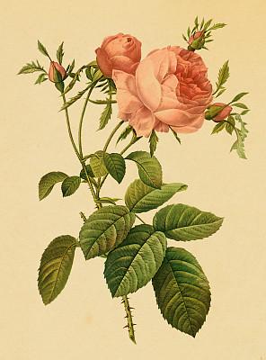 古董,玫瑰,粉色,绘画插图,茶味玫瑰,影像年代,垂直画幅,正面视角,留白,艺术