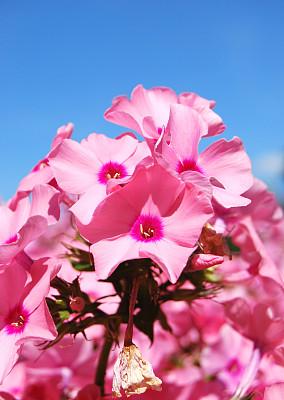 garden phlox,火烈鸟,园林,自然,垂直画幅,天空,植物,无人,蓝色,粉色