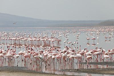 小火烈鸟,纳库鲁湖,肯尼亚,微咸水,水,天空,水平画幅,沙子,无人,鸟类