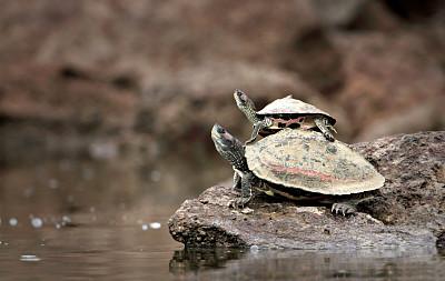 龜,母親,嬰兒,動物背脊,圣伯納犬,海龜,爬蟲學,新生動物,水平畫幅,動物學