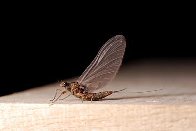 蜉蝣,自然,垂直画幅,图像,无人,昆虫,图像聚焦技术,户外,水平画幅,彩色图片