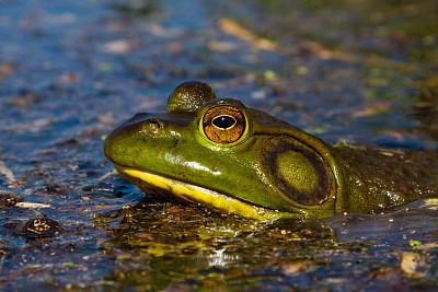 牛蛙,美国牛蛙,蛙科,正面视角,水平画幅,无人,野外动物,水栖哺乳动物,彩色图片,雌性动物