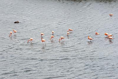 波耐尔,火烈鸟,公园,荷兰加勒比海,库拉索,阿鲁巴,红树,水,水平画幅,无人