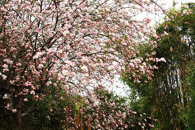 自然美,粉色,花朵,桃花,苹果花,天空,水平画幅,樱花,无人,组物体