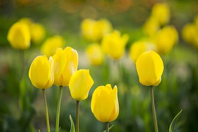 郁金香,水,夏天,草,仅一朵花,植物学,清新,大特写,高清格式
