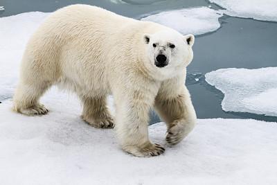北极熊,冰川,与众不同,北冰洋,斯匹兹卑尔根,斯瓦尔巴特群岛和扬马延岛,北极点,斯瓦尔巴德群岛,寒冷,野生动物
