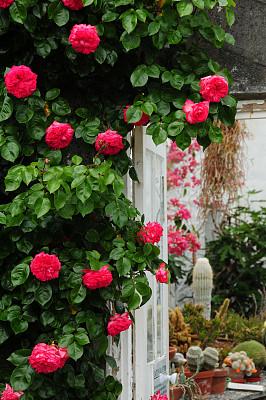 玫瑰,英国,温室,长焦镜头,自然,垂直画幅,拍摄场景,有蔓植物,枝繁叶茂,无人