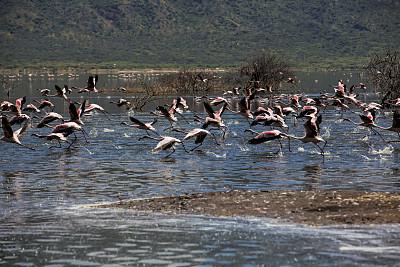 火烈鸟,柏哥利亚湖,自然,野生动物,水平画幅,鸟类,非洲,野外动物,户外,一群鸟