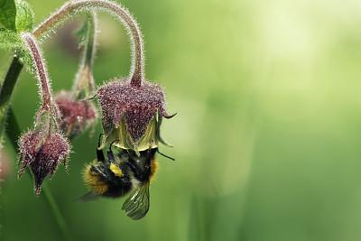 水,水杨梅属植物,大黄蜂,选择对焦,温带的花,留白,水平画幅,无人,夏天,户外