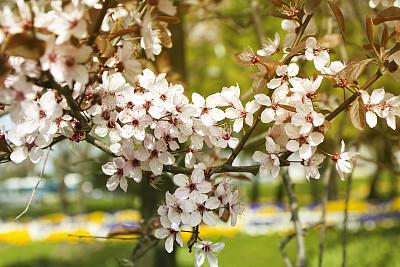 春天,花朵,选择对焦,留白,水平画幅,无人,梅花,户外,特写,植物