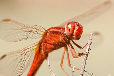 红色,蜻蜓,自然,水平画幅,无人,大特写,一只动物,昆虫,摄影