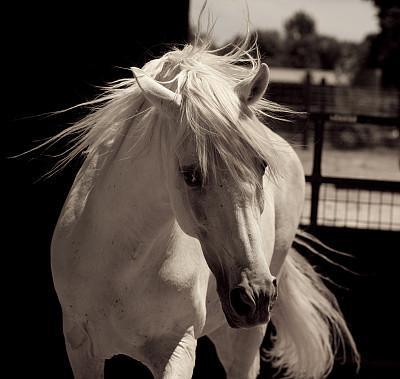 白色,马,安达卢西亚,种马,进行中,谷仓,埃斯帕诺拉群岛,白马,伊比利亚风格,美