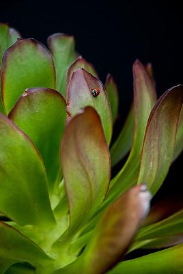 瓢虫,自然,垂直画幅,留白,绿色,无人,特写,黑色背景,影棚拍摄,植物