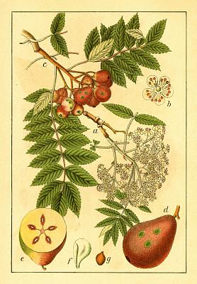 古董,绘画插图,山梨树,植物学家,垂直画幅,正面视角,暴风雨,无人,古典式,图像