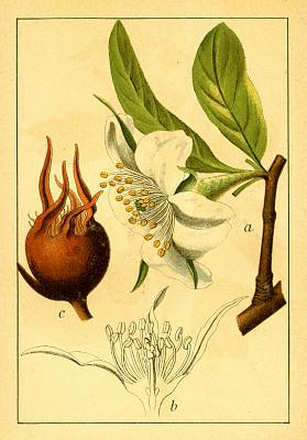 古董,绘画插图,仅一朵花,鹭管鱼,植物学家,垂直画幅,正面视角,暴风雨,无人,古典式