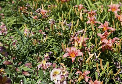 萱草,园林,自然,水平画幅,橙色,无人,夏天,户外,百合花,植物