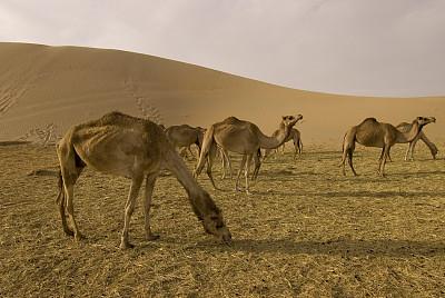 骆驼,农场,阿莱茵,单峰骆驼,阿布扎比,水平画幅,沙子,易接近性,无人,夏天