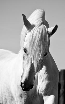 白色,马,安达卢西亚,种马,黑白图片,埃斯帕诺拉群岛,白马,伊比利亚风格,垂直画幅,美
