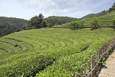茶树,叶绿素,天空,水平画幅,枝繁叶茂,山,无人,健康,夏天,户外