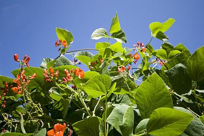 豆,社区菜园,天空,水平画幅,夏天,户外,乡村风格,农作物,英国,园艺