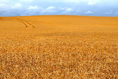 田地,小麦,自然,水平画幅,枝繁叶茂,地形,无人,丘陵 何林�c了�c�^起伏地形,英格兰,夏天