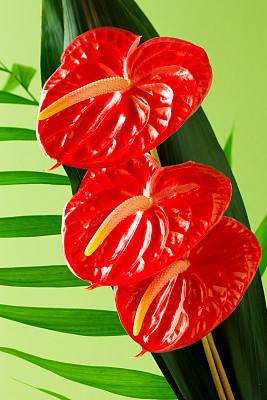 花烛属,鸡尾酒,附生植物,垂直画幅,无人,异国情调,特写,仅一朵花,雨林,花束