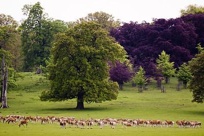 渥本公园,渥本修道院,渥本,沼泽鹿,红榉,贝德福德郡,轴鹿,梅花鹿,欧洲小鹿,奶油色