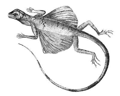 蜥蜴,雕刻图像,龙,19世纪风格,绘画插图,古董,野生动物,水平画幅,动物学,动物身体部位