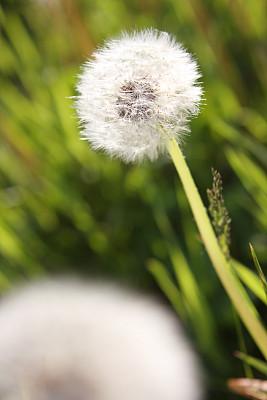 蒲公英,自然,垂直画幅,毛绒绒,植物,无人,种子,柔和,户外,野生植物