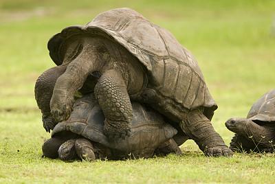 龟,狂欢会,阿尔达布拉陆龟,塞舌尔巨型龟,加拉帕戈斯陆龟,巨型龟,龟壳,草原,水平画幅,过大的