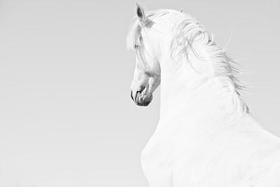 白色,马,安达卢西亚,种马,黑白图片,白马,埃斯帕诺拉群岛,动物关节,伊比利亚风格,美