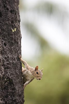 好奇心,松鼠,在之后,自然,垂直画幅,美国,绿色,棕榈树,佛罗里达,哺乳纲
