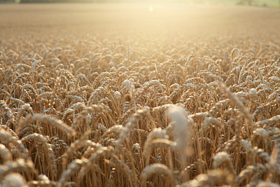 田地,金色,小麦,水平画幅,无人,夏天,特写,刀刃草,农作物,植物