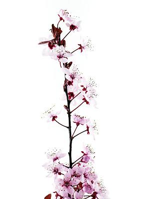 枝,春天,桃树,垂直画幅,留白,无人,户外,特写,仅一朵花,白色