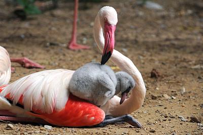 鸟类,大火烈鸟,母亲,婴儿,新生动物,水平画幅,两只动物,野外动物,户外,白色