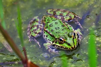 青蛙,蝌蚪,欧洲林蛙,牛蛙,池塘生物,蛙科,嗄嗄声,水蛙,动物保护,凹陷的