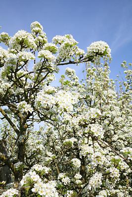 春天,雪利,自然,垂直画幅,白色,母亲节,无人,樱桃树,花头,情人节